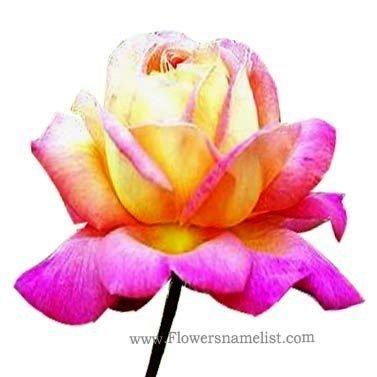 Rose Chicago Peace