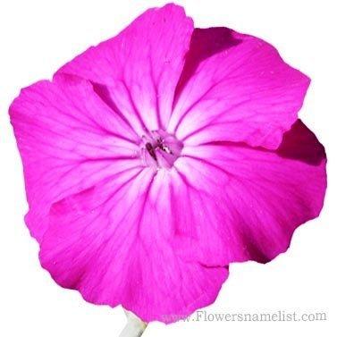 Rose Lychnis coronaria campion