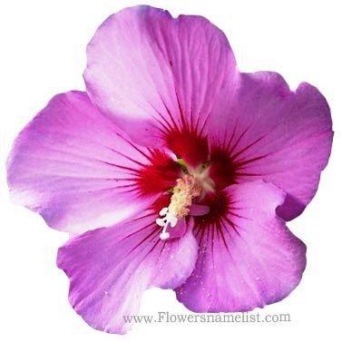 Rose Of Sharon Minerva