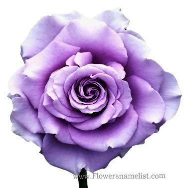 Rose 'Sweet Moon