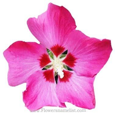 Rose of Sharon Hibiscus