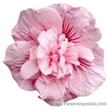 Rose of Sharon Pink Chiffon