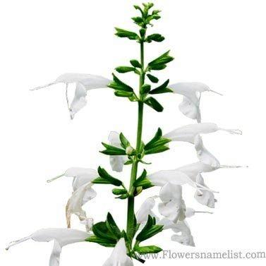 Salvia coccinea white