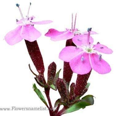 Saponaria-ocymoides