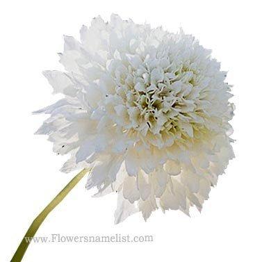 (Scabiosa) Pincushion flower