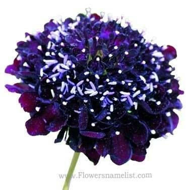 Scabiosa atropurpurea Oxford Blue