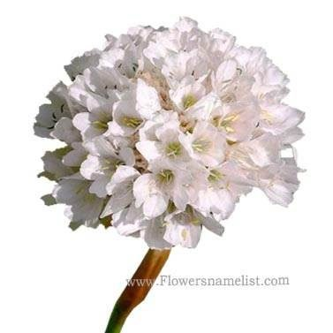 Sea Thrift white