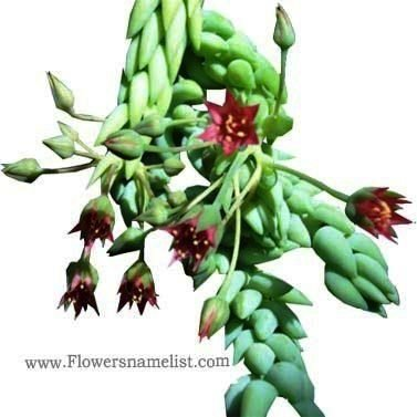 Sedum morganianum - Donkey's Tail