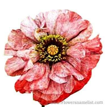 Shirley Poppy red and white