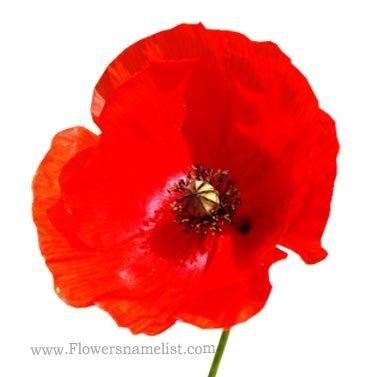 Shirley Poppy red