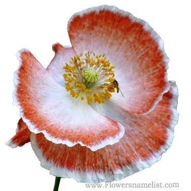 Shirley poppy Orange and white