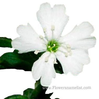 Silene-stenophylla