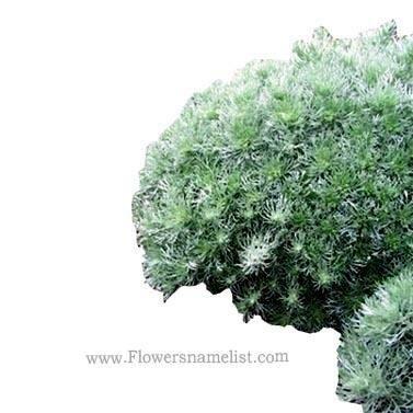 Silver_Mound Artemisia
