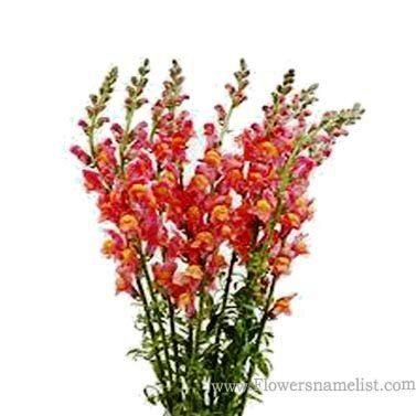 Snap dragons Orange