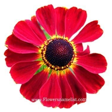 Sneezeweed Helenium red