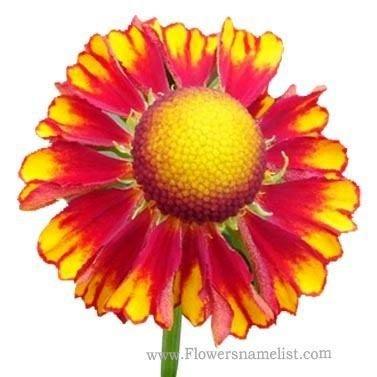 Sneezeweed helenium yellow red