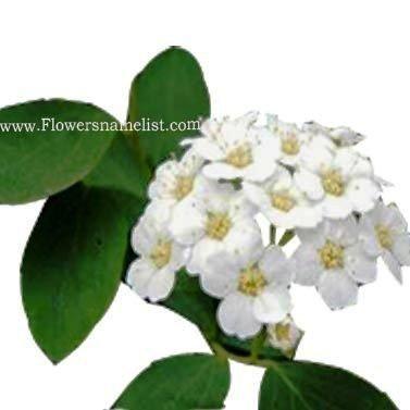 Spirea_Vanhoute_Flowers