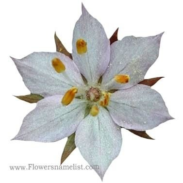Starflower Broad-leaf