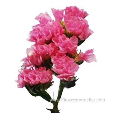 Statice-Pink-Flowers