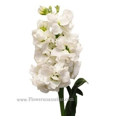 Stock White Flower