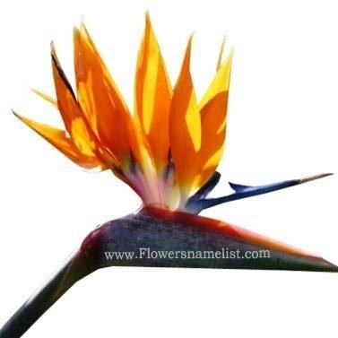Strelitzia (Bird of Paradise