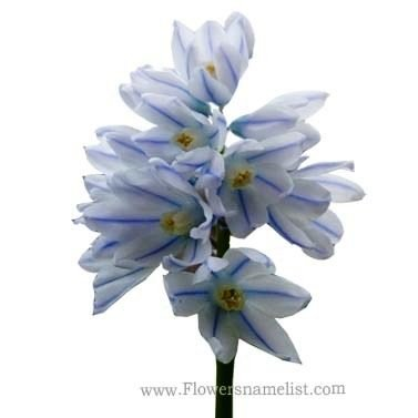 Striped Squill aka Puschkinia scilloides