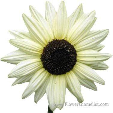 Sunflower light Yellow