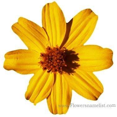 Tagetes_lemmonii_flower