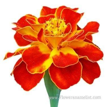 Tagetes_patula , French_marigold
