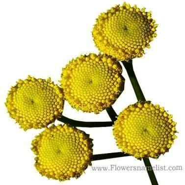 Tansy_yellow