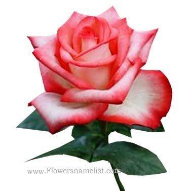 Tea rose Hybrid 'Blush'