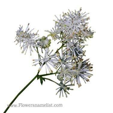 Thalictrum_pubescens