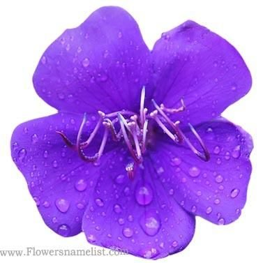 Tibouchina-urvilleana-Flower