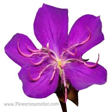 Tibouchina_granulosa_flower