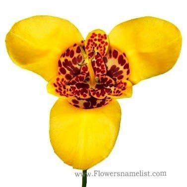 Tigridia pavonia yellow(Tiger Flower)
