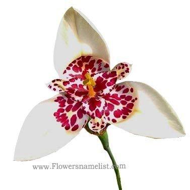 Tigridia pavonia,or Tiger flower.