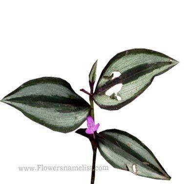 Tradescantia-zebrina-flowers