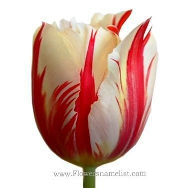 Tulip-red and white
