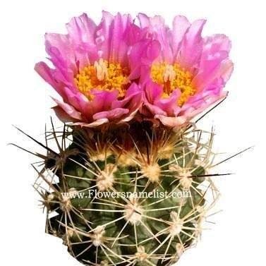 Uinta Cactus