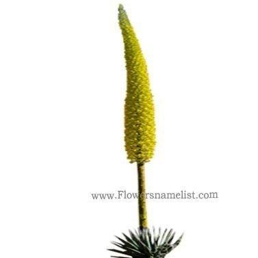 Utah Agave flower