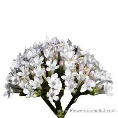 Valeriana_dioscoridis_flower