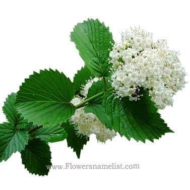 Viburnum_dentatum_plant