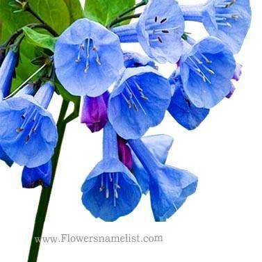 Virginia Bluebells