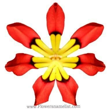 Wand flower-Sparaxis Tricolour