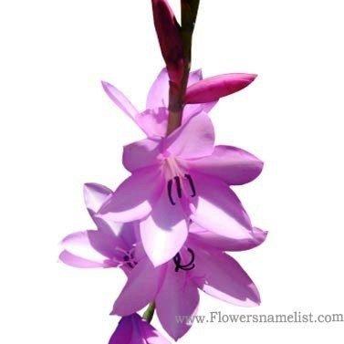 Watsonia_borbonica_flowers