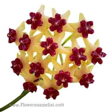 Wax Plant-Fish Tail Hoya,