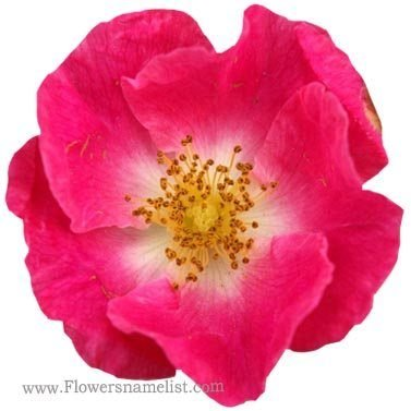 Wild Rose Trackside
