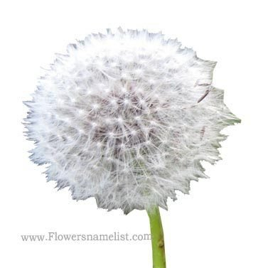 Wind dandelion breez Flower