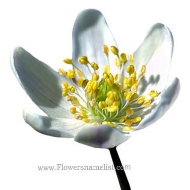 Wind flower_aka