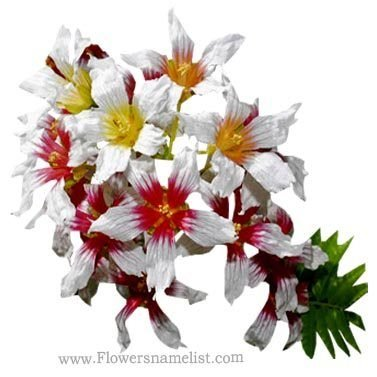 Xanthoceras sorbifolium (yellowhorn